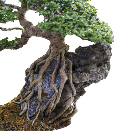 Close up of a knobby trunk of an old Snowrose Bonsai tree Stock Photo