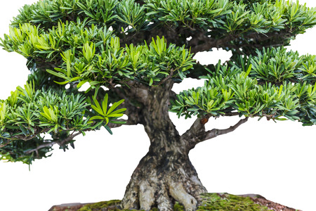 knobby: Close up of a knobby trunk of an old Snowrose Bonsai tree Stock Photo