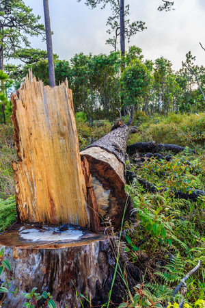 resilient: Cut down a tree that is due to the disease was dangerous.