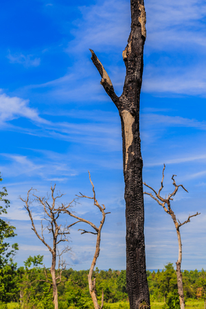 The old and dry tree growing against the blue sky