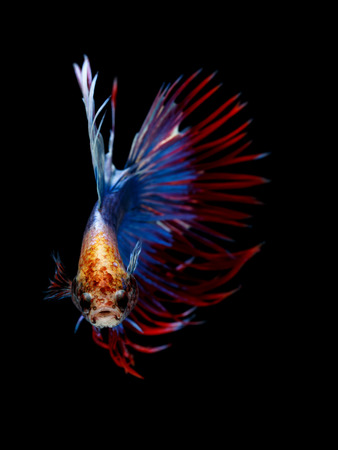 Multi color Siamese fighting fish(Rosetail),fighting fish,Betta splendens,on black background