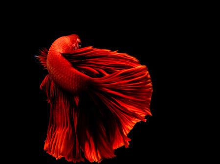 Red color Siamese fighting fish(Rosetail),fighting fish,Betta splendens,on black background,Betta Fancy Koi Half Moon Plakat