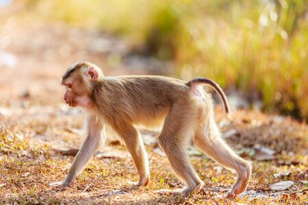 Stock Photo - southern pig tailed macaque (Macaca nemestrina)