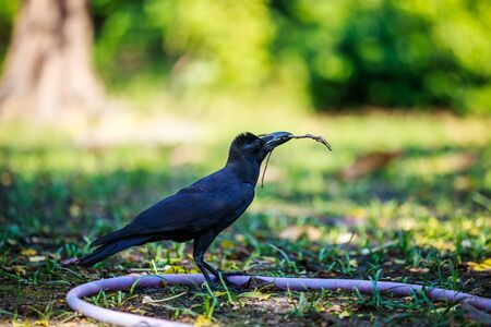Crow bringing some sticks for its nest