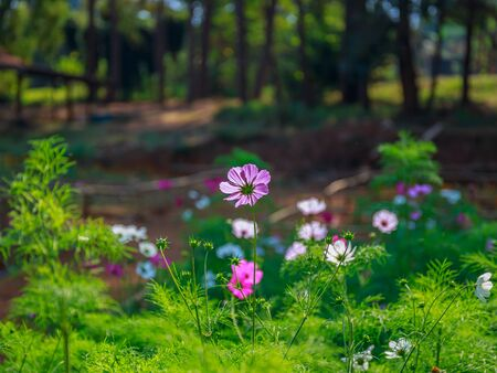 Beautiful cosmos flowers in the garden. Pink and Violet flowers for background