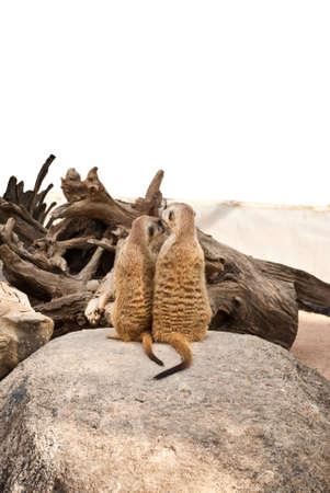 suricatta: Meerkat in the park.