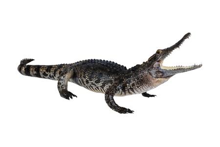 krokodil: Krokodil Stuff isolieren auf die wei�e.