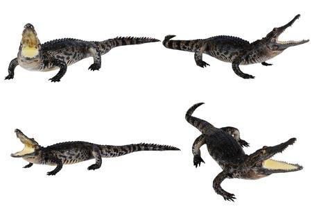 Many crocodile stuff isolate on the white.