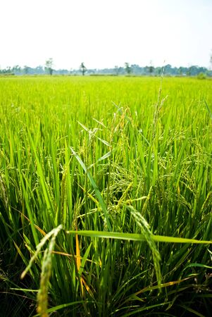 Ripening rice in a paddy field . photo