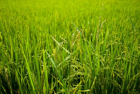 Ripening rice in a paddy field . Stock Photo - 9447025