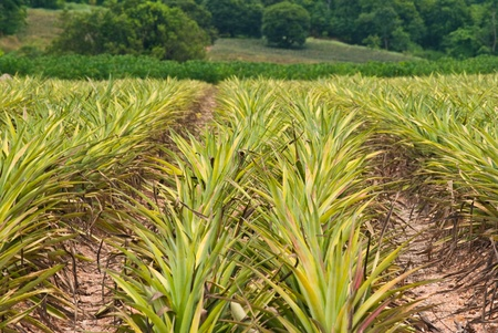 Pineapple field background. photo
