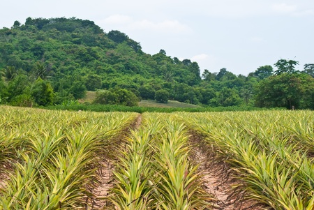 Pineapple field background with the sky. photo