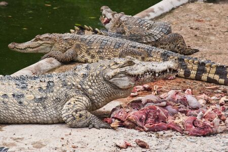 Freshwater crocodile eating chicken meat in the breed. Stock Photo - 9552588