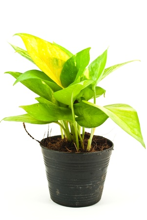 plant with roots: Planta verde aislado en el blanco.