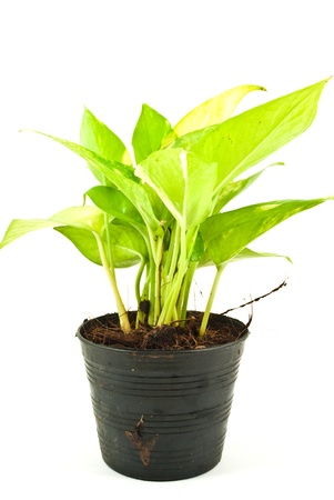 Green plant isolated on the white. photo