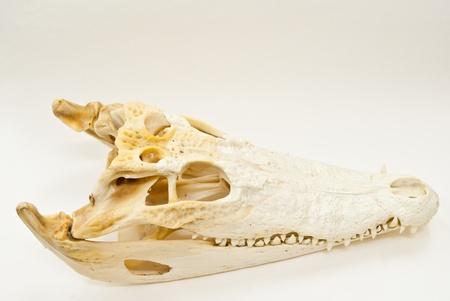 Freshwater crocodile skull. photo