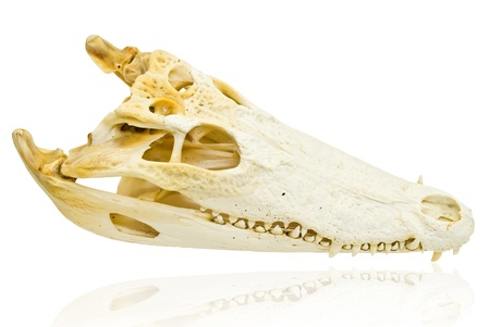 Freshwater crocodile skull. photo