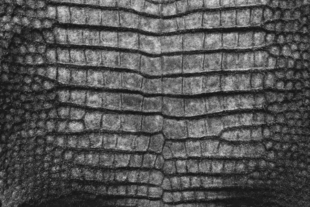 the reptile: Freshwater crocodile belly skin texture background.