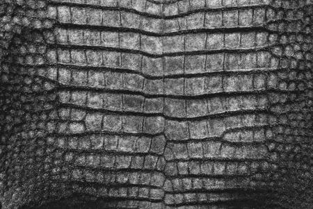 Süßwasser Krokodil Bauchhaut Textur Hintergrund. Standard-Bild