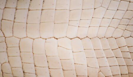 Freshwater crocodile belly skin texture background. photo