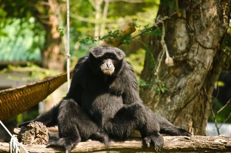 Black Orangutan. photo
