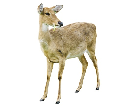 white tail: Deer isolato su sfondo bianco.
