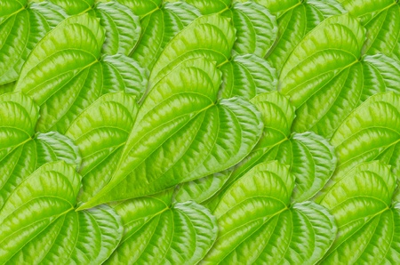 Green betel leaf texture  photo