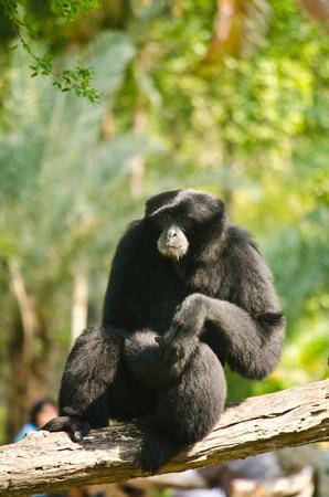 Black Orangutan  photo