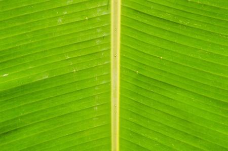 Green fresh banana leaf texture  photo
