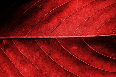 Red dried leaf texture  photo
