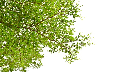 Green leaves isolated on the white  Stock Photo - 13247252
