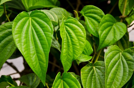 Green betel leaf in the park Stock Photo - 13284829