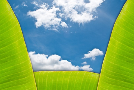 Green fresh banana leaf texture with sky  photo