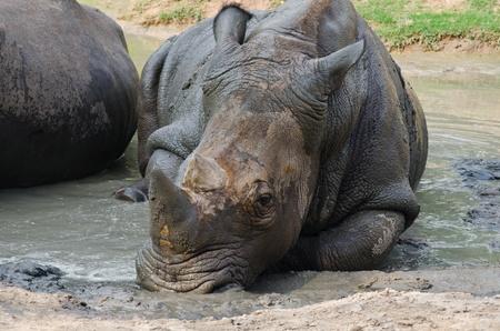 Rhino in the nature  photo
