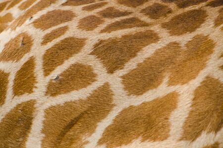 Giraffe skin texture  photo