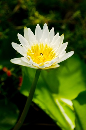White Lotus in the nature  photo