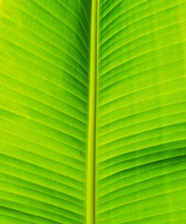 Green fresh banana leaf texture. photo