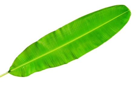 Green fresh banana leaf isolated with clipping path. photo