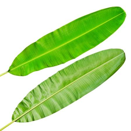 Grüne frische Bananenblatt