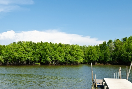 Mangrove forest with blue sky field  photo