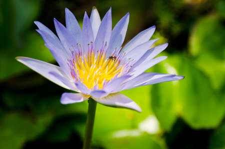 Purple lotus in the nature  photo