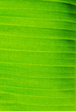 Green fresh banana leaf texture  photo