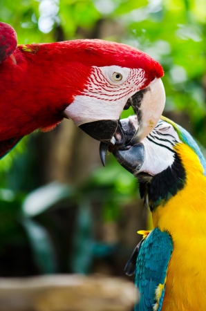 Couple of Red and Yellow macaw parrots  photo