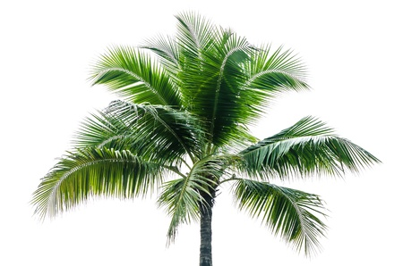subtropical plants: Coconut Tree Isolated on the white background