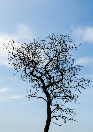 Silhouette of dead tree without leaves with the blue sky  photo