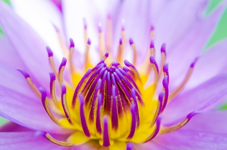 Close Up of Purple Water Lily  photo