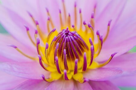 Close Up of Pink Water Lily  photo