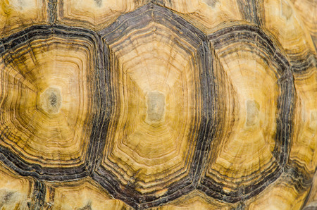 carapace: Tortoise Texture Background.