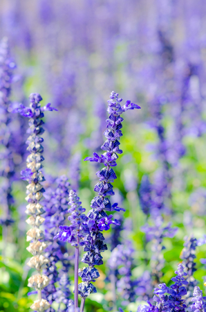 beneficial insect: Lavender Bunch Flower in the Nature.