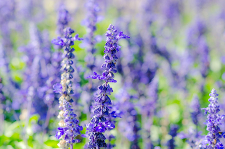herbs de provence: Lavender Bunch Flower in the Nature.